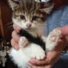 生後2ヶ月すぎオス&メスのキジ白子猫