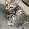 宮城県北部より子猫の里親を募集します