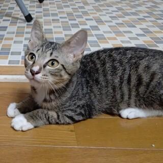 4月生まれの子猫 ガンダム兄妹 カガリ♀