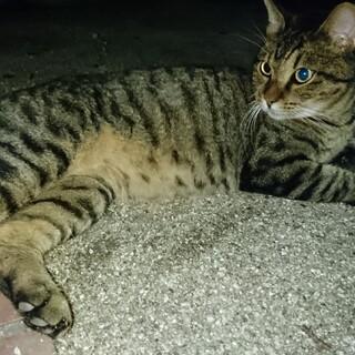 尻尾が鍵猫のきじとら虎ちゃん。