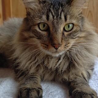 大きな体に穏やかなハートのキジトラ長毛猫君です。