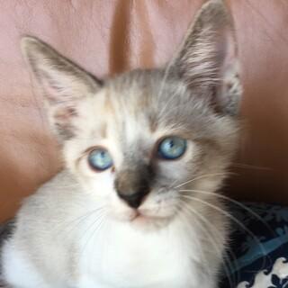 ブルーの瞳が凛々しいシャム系男子♫はる彦君