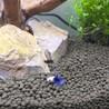 ベタ・プラカット8匹、数cmの熱帯魚 サムネイル2