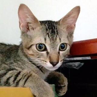 4月生まれの子猫 ガンダム兄妹 キラ♂