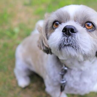 祖父溺愛犬。新しい飼い主さん探してます。