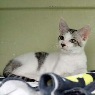 譲渡対象猫のご紹介 721-2
