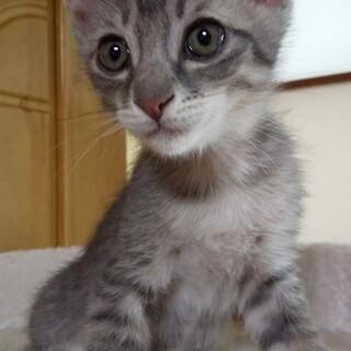 グレーミルクから育てた子猫 サバトラ
