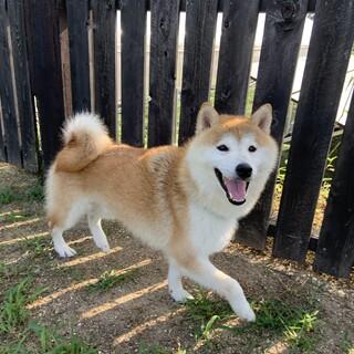 【空太】ボール大好きな懐っこい柴犬