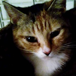 箱根 金時山猫