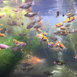 金魚 ミックス稚魚 2-3cm 2ヶ月 65匹まで