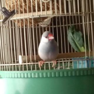 良く慣れたシルバー文鳥オス 3月30日生まれ