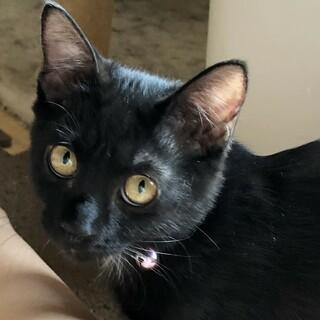 遊ぶのが大好きな黒猫の女の子 3カ月