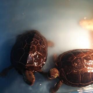 クサガメ17歳 雌と雄 2匹