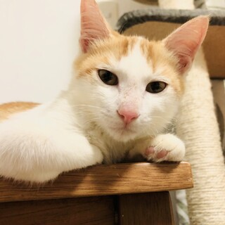 【おっとりイケにゃん】茶白子猫のえびすくん