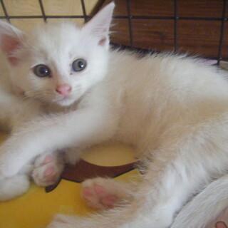 白と黒猫メスです。生後2か月で可愛いです