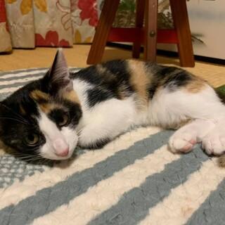 三毛柄美猫♡ネスレちゃん