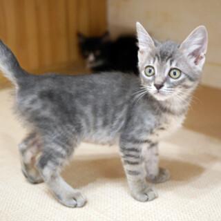人も猫も大好き!綺麗なサバトラ女子2.5ヶ月
