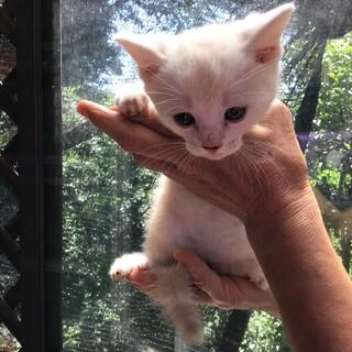 アメリカンショートヘアの子猫の里親募集