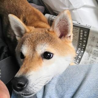 小さい柴犬さきちゃん