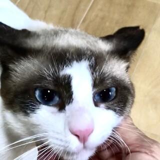 幸運の猫❗️ビー玉のような青い瞳のルゴくん