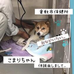 倉敷のお腹が痛い、小毬(こまり)ちゃん→譲渡決定!