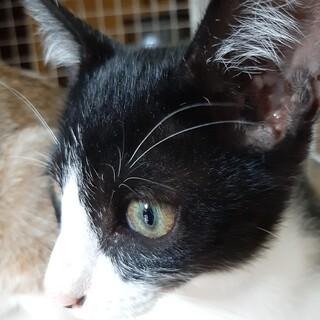 約4ヶ月きょうだい猫目が綺麗なイケメン白黒猫くん