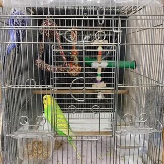 セキセイインコのオス2羽