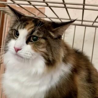 美しい老猫★11歳★避妊済★依頼投稿★