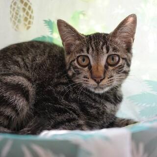 【ゴボウマン】キリッとしたスリゴロキジトラ少年猫