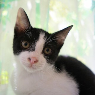 【だんりん】鼻筋くっきりスリゴロハチワレ少女猫