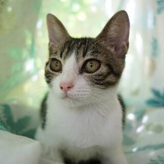 【やまの実】キジ白ハチワレのスリゴロ美少女猫