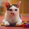 トライアル決定しました^_^綺麗な三毛猫。