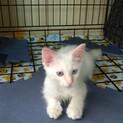 【交渉中】真っ白なブルーアイの子猫