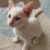募集停止。ブルーアイ白猫男子★ムース