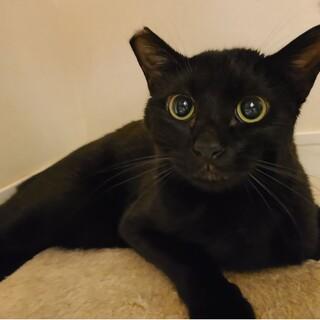 ジェットくん 生後11か月 スマートな黒猫