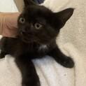 人懐こい可愛い黒ネコ はです君