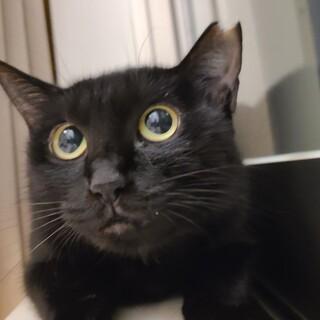 まん丸瞳の黒猫の女の子チョコちゃん♪ 2歳程度