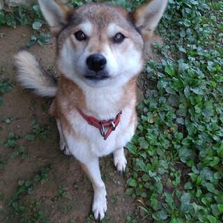 柴犬 メス 9歳