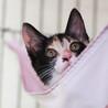 三色きれいに入りました♪美形のゴロゴロ猫シンディ サムネイル4