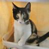 三色きれいに入りました♪美形のゴロゴロ猫シンディ サムネイル5