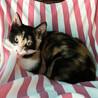 三色きれいに入りました♪美形のゴロゴロ猫シンディ サムネイル6
