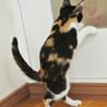 三色きれいに入りました♪美形のゴロゴロ猫シンディ サムネイル7