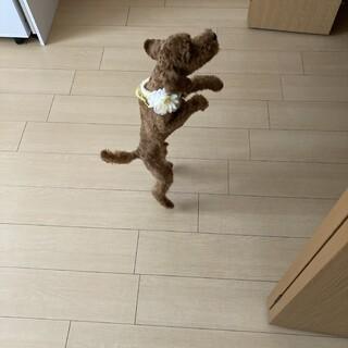 トイプードル仔犬♬