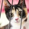 三色きれいに入りました♪美形のゴロゴロ猫シンディ サムネイル2