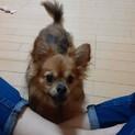 チワワのミリンくん♂2歳