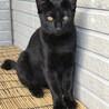 5か月の男の子♡カギ尻尾の黒猫 去勢手術済み