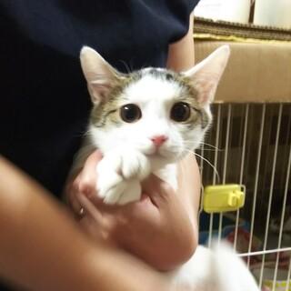 4ヶ月半位  和風美人白キジ子猫 しのちゃん!