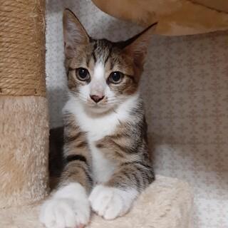 約4ヶ月きょうだい猫甘えっ子イケメンキジトラくん
