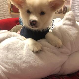 ホイップちゃん MIX子犬 2ケ月 女の子