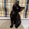 5月生まれのイケメン兄弟 黒猫 カイ♂